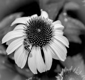 在coneflower的黑&白色蜂 免版税库存图片