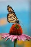 在coneflower的黑脉金斑蝶 库存照片