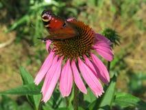 在coneflower的蝴蝶 免版税图库摄影