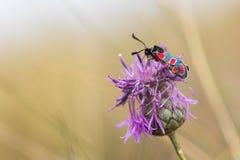在cornflowe花的黄昏burnet Zygaena carniolica  图库摄影
