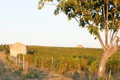 在Cornielhan,法国附近的葡萄园 图库摄影