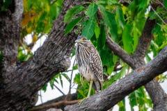 在Corroboree Billabong,澳大利亚的一只滑稽的看的鸟 库存图片