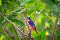 在Corroboree Billabong, NT,澳大利亚的一只天蓝色的翠鸟 免版税库存照片