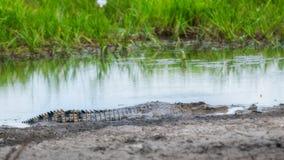 在Corroboree Billabong, NT,澳大利亚的一条幼小盐水鳄鱼 库存图片