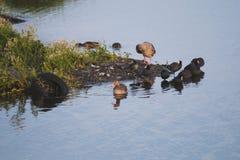 在cosat污染的边的Gooses和老傻瓜鸟在水车胎的 免版税库存图片