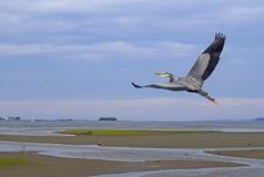在Courtenay出海口的苍鹭飞行 图库摄影