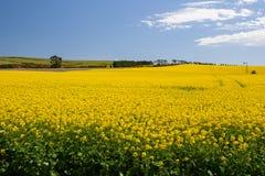 在Creswick附近的油菜领域 免版税库存图片