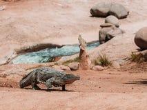 在crocopark的鳄鱼 库存图片