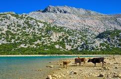 在Cuber水库旁边的牛 免版税库存图片