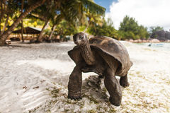 在Curieuse海岛上的巨型草龟 库存图片