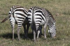 在d的大草原吃草向后站立的两匹的斑马 免版税库存照片