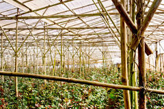 在Da拉特银币,越南开花种植园 库存照片