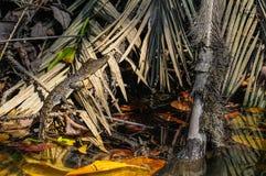 在Daintree雨林,澳大利亚的小鳄鱼 库存图片