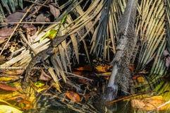 在Daintree雨林,澳大利亚的小鳄鱼 图库摄影