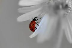 在daizy的一只宏观昆虫 免版税图库摄影