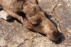 在Danakil消沉的睡觉骆驼,埃塞俄比亚 免版税图库摄影
