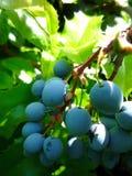在darden的野生蓝色莓果 免版税库存照片