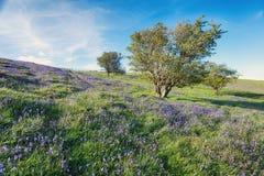 在Dartmoor的会开蓝色钟形花的草 免版税库存照片