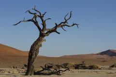 在Deadvlei,纳米比亚的古老金合欢 库存图片