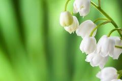 在defocused绿色叶子背景的开花的铃兰  免版税库存图片