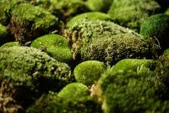 在defocused bokeh背景的绿色青苔 免版税库存照片