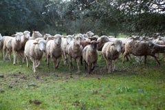 在dehesa的牧群 库存图片