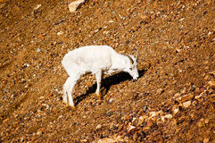 在Denali国家公园的幼小野绵羊在阿拉斯加 免版税图库摄影