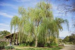 在Descanso庭院的美丽的大柳树 免版税库存图片