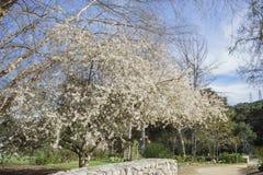 在Descanso庭院的美丽的开花的Crabapple花开花 免版税库存图片