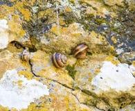 在Devitakskoy洞,保加利亚的蜗牛 免版税图库摄影