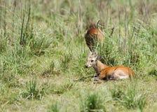 在Dhikala草原,吉姆Corbett拱起鹿 图库摄影