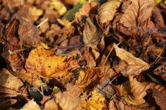 在dicember,秋天背景,关闭的叶子 免版税库存照片