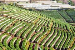 在doi angkhang山, chiangmai,泰国的草莓领域 库存图片