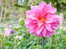 在doi inthanon的桃红色花 库存照片