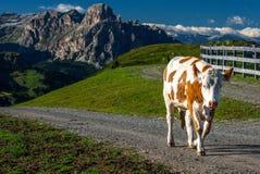 在Dolomities的母牛 免版税库存照片