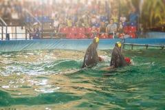 在dolphinarium的两只海豚 图库摄影