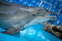 在dolphinarium的微笑的海豚 免版税图库摄影