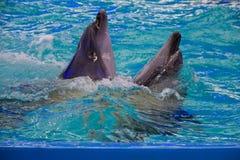 在dolphinarium,傲德萨,乌克兰的海豚 图库摄影