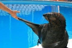 在dolphinariumon的训练的海狗 库存照片