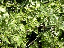 在Donau三角洲的橡木叶子 库存图片