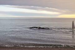 在Doradillo海滩的一条鲸鱼在半岛瓦尔德斯 免版税图库摄影