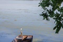 在Dubovac采取的多瑙河的岸的白色小白鹭白鹭属garzetta,塞尔维亚,在夏天 图库摄影