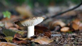 在Duivelshof的秋天蘑菇 免版税库存图片