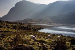 在Dunloe小山空白的绵羊  免版税库存图片