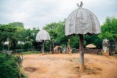 在Dusit动物园的长颈鹿在曼谷,泰国 库存照片