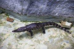 在Dusit动物园,曼谷泰国的暹罗鳄鱼 免版税库存照片