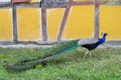 在ecomusee的孔雀在阿尔萨斯 免版税库存照片