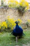 在ecomusee的孔雀在阿尔萨斯 库存图片