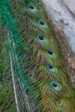 在ecomusee的孔雀在阿尔萨斯 库存照片