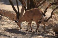 在Ein Gedi自然保护的Nubian高地山羊 免版税图库摄影